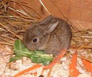 que peux manger un lapin